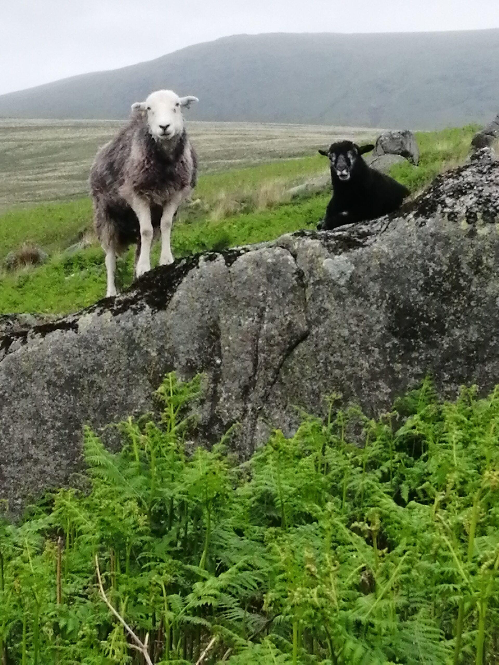 lake-sheep